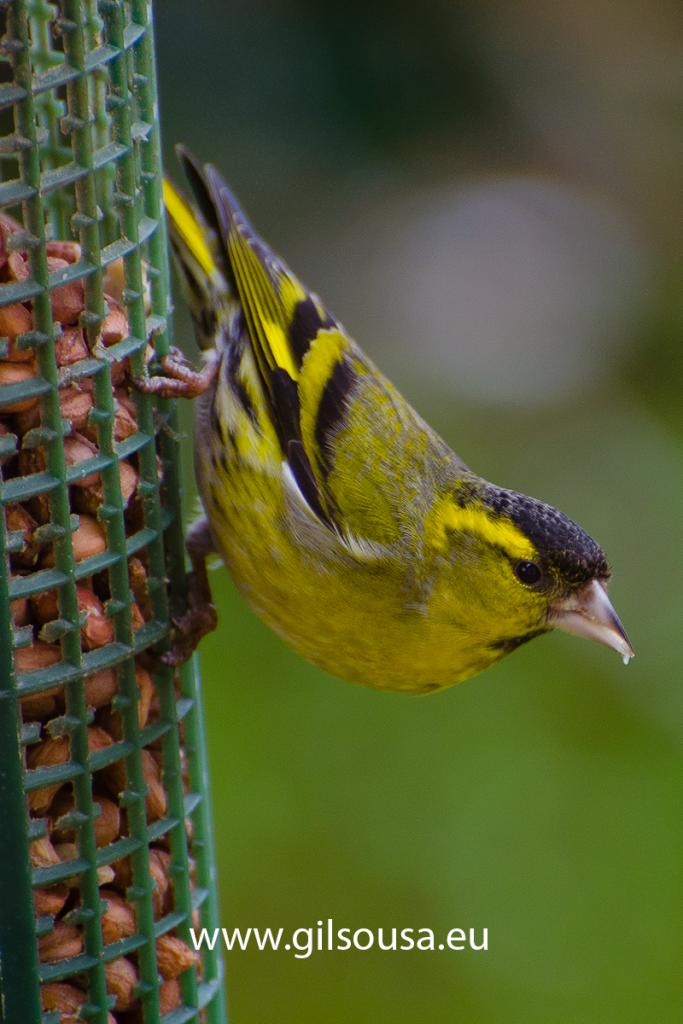 Observar pássaros a comer