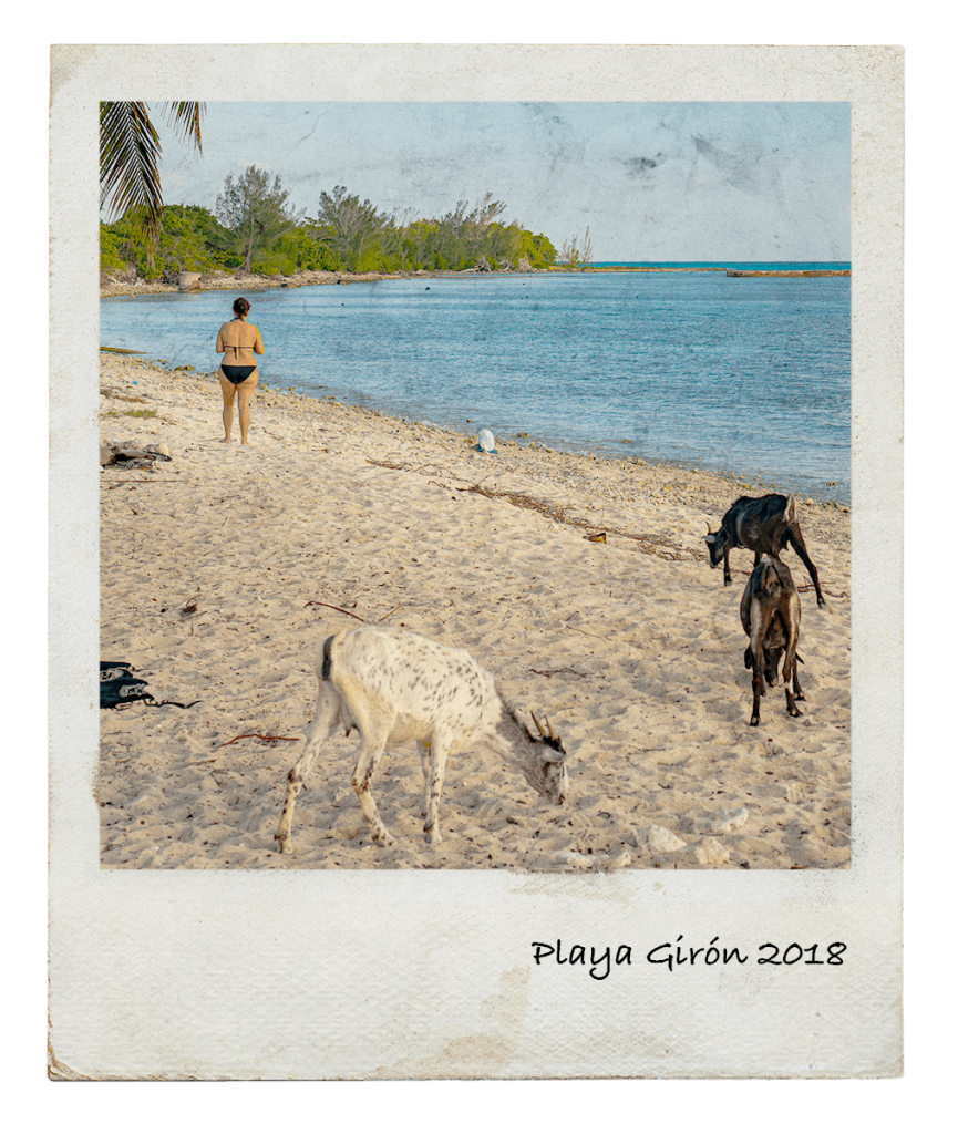 Goats at the beach in Playa Girón