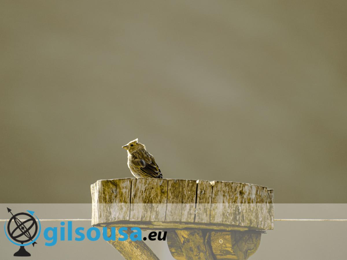 Fotografia em Cape Clear: Um pardal telhado num tronco