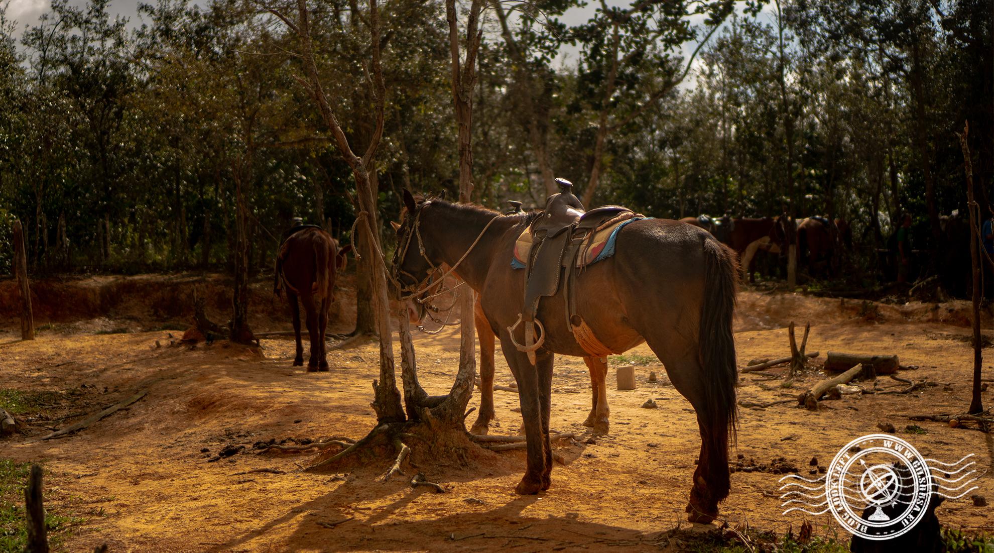 Cavalos de Viñales