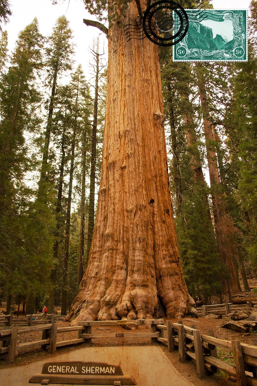Sequoia Gigante General Sherman