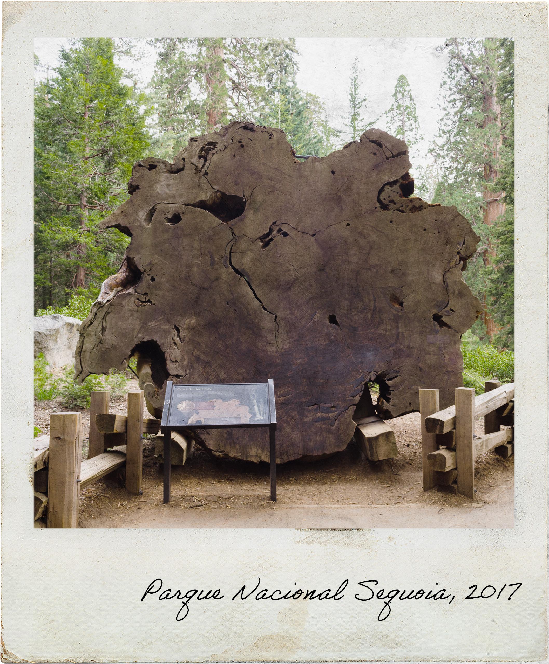 Anéis de uma Sequoia
